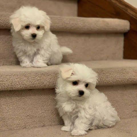 Cathys Maltese Teacup Apricot Maltipoo Maltese Puppy For Sale Apricot Maltipoo Breeder Puppy For Sale Ma In 2020 Maltese Puppy Maltese Puppies For Sale Puppies