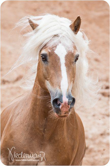 Haflinger Hengst Aladin – Fam. Luber – Pferdefotografie, Hundefotografie, Fotografie Bettina Niedermayr Pferde – Mensch & Pferd – Hunde- Portrait – St…