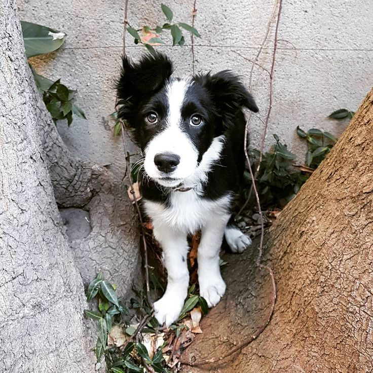 Aujourd'hui, j'ai 4 mois et je pèse 8,5kg. /  Today I'm 4 months old and I weight 18lbs. / Border Collie