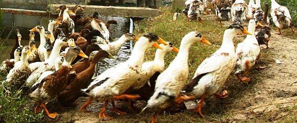 how to raise baby ducks