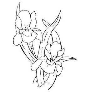 238 Best Line Drawings Of Irises Images On Pinterest