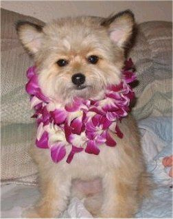 Pomapoo (Pomeranian-Poodle mix) Info, Temperament, Puppies, Pictures