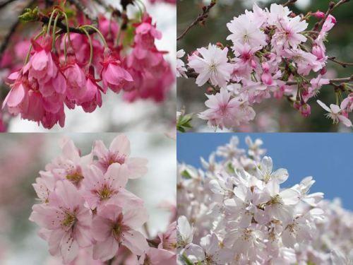 新宿御苑 左上は寒緋桜の一種のヒマラヤ緋桜、右上は冬からずっと花を つけ続けている十月桜、左下は彼岸桜の一種である東海桜、 右下はしだれ桜を下から。