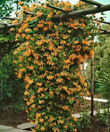 Sterke snelgroeiende klimplanten (zoals Kamperfoelie) De bloemen verspreiden een heerlijke geur.