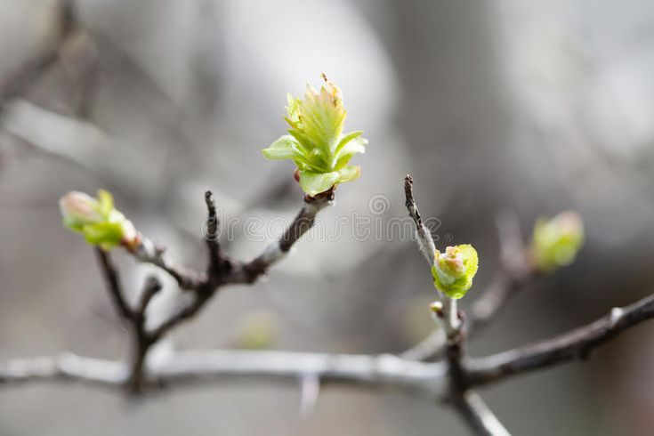 Tender springtime nature in park. First green leaves, tree twig macro view, sele , #AFFILIATE, #green, #leaves, #tree, #park,