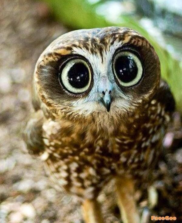 Owl... Cute ... ♥ Let's protect our world! Help saving the planet so we can all live to continue seeing these amazing animals! Help protect their home also our home!                                                                                                                                                     More