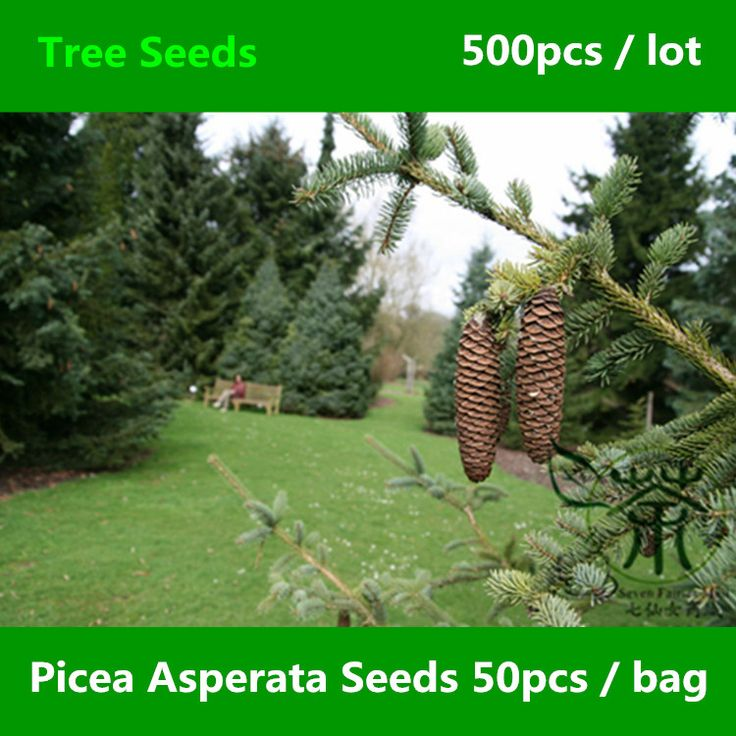 Ornamental Plant Picea Asperata Seeds 500pcs, Chinese Dragon Spruce Evergreen Tree Seeds, Family Pinaceae Endemic Yun Shan Seeds