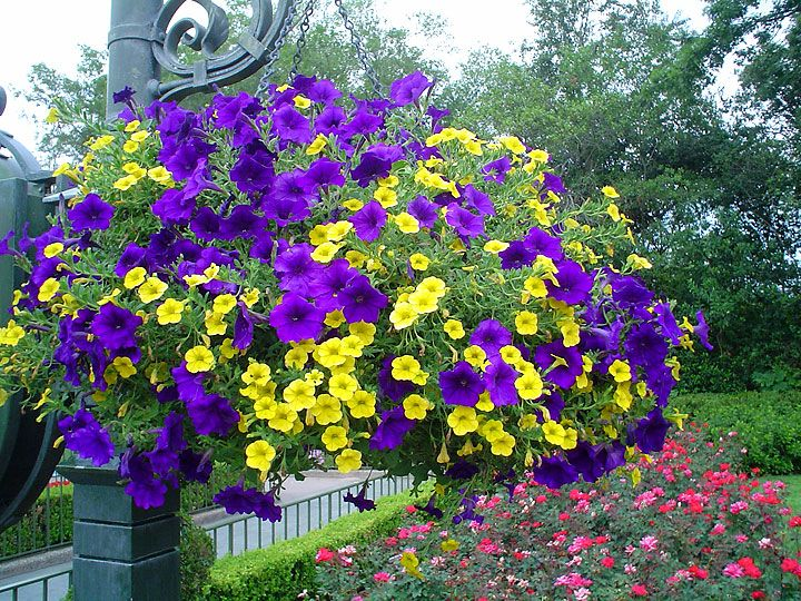 Yellow And Purple Hanging Basket