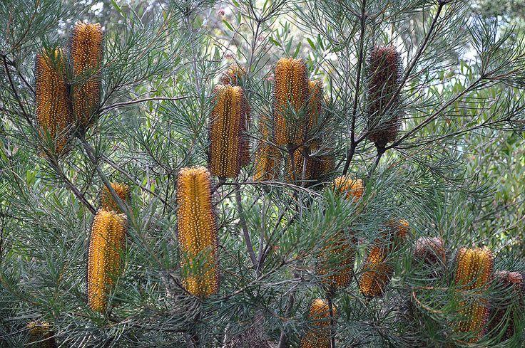 https://flic.kr/p/u6Rq6c   Australian National Botanic Gardens   Banksia Spinulosa :: © Gabriella Tagliapietra / Pinch River