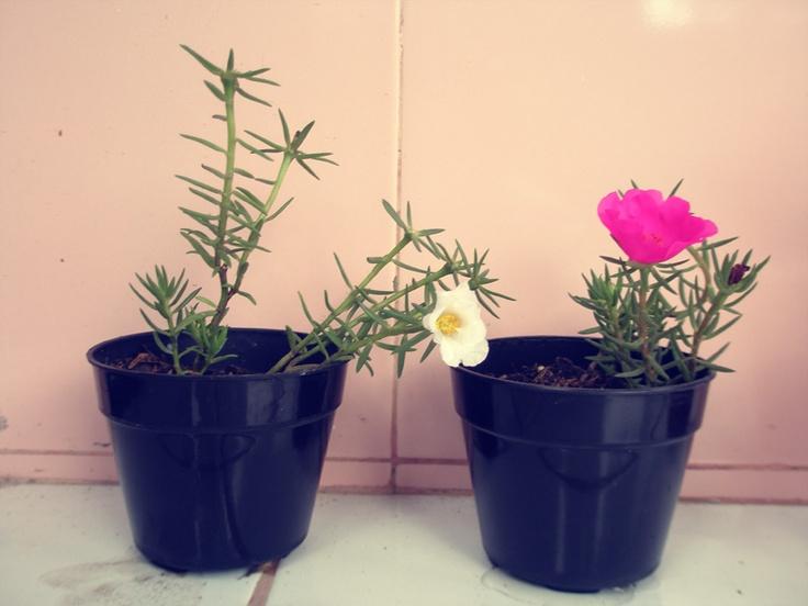 lagi nyoba hobi bertanam bunga. tapi saya lupa nama tanaman ini. waktu itu baru punya dua hari, tau tau sudah berbunga cantik sekali. ternyata bunganya cuma punya waktu sehari untuk mekar, menjelang sore dia layu, lalu kering. besok-besoknya ditunggu lagi, taunya belum berbunga juga sampai sekarang :|
