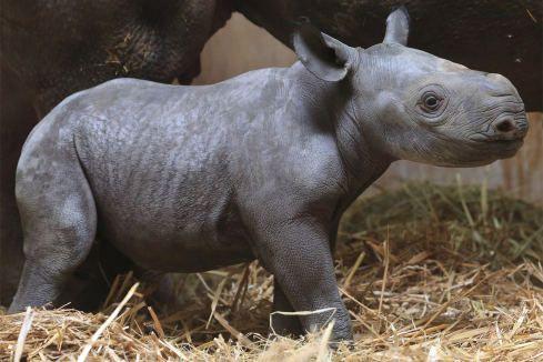 Magdeburger Zoo: Das Nashorn-Baby zeigt sich