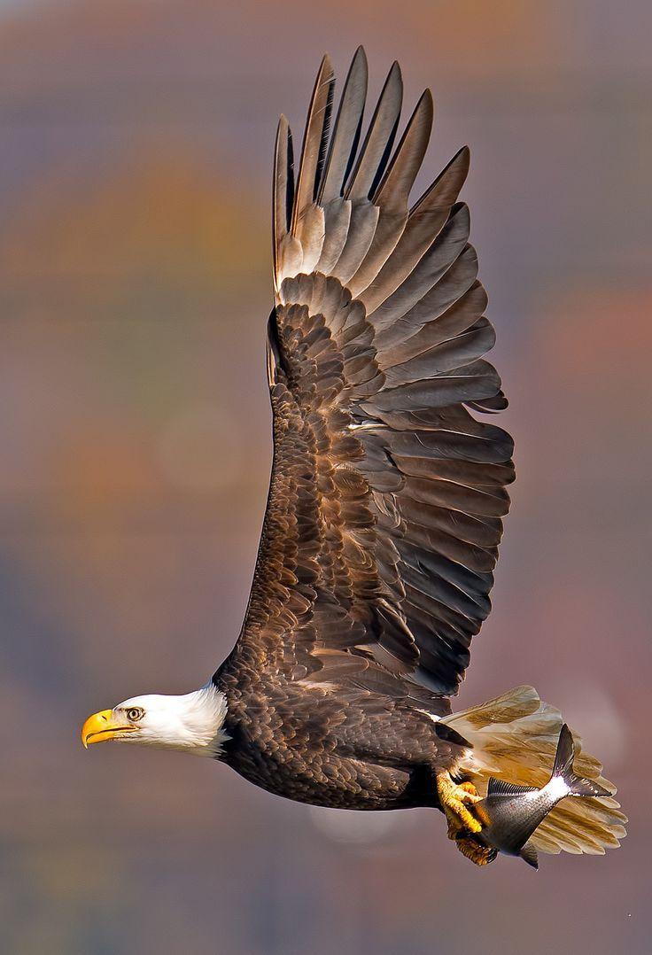 American Bald Eagle | Big Cats | Pinterest | Bald Eagle ...