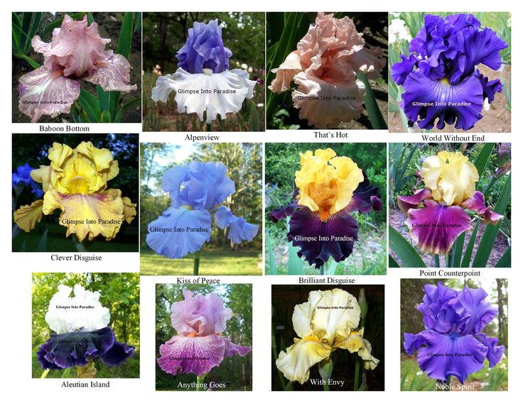 FREE Iris Plants Giveaway Contest. One week left to enter! Go Here to Enter https://goo.gl/tbo2np