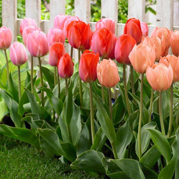 チューリップ「ファンアイクシリーズ」のミックスガーデン実例、各種球根・切花・鉢植の販売は富山県花卉球根農業協同組合にて