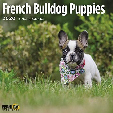 French Bulldog Puppies 2020 Calendar 2020 French Bulldog Puppies