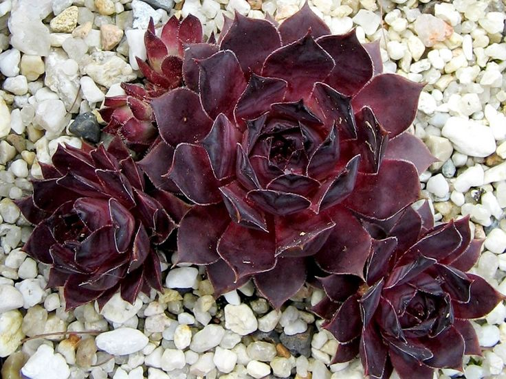 Sempervivum Pacific Purple Shadows
