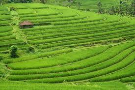Jatiluwih rice terrace (Denpasar)