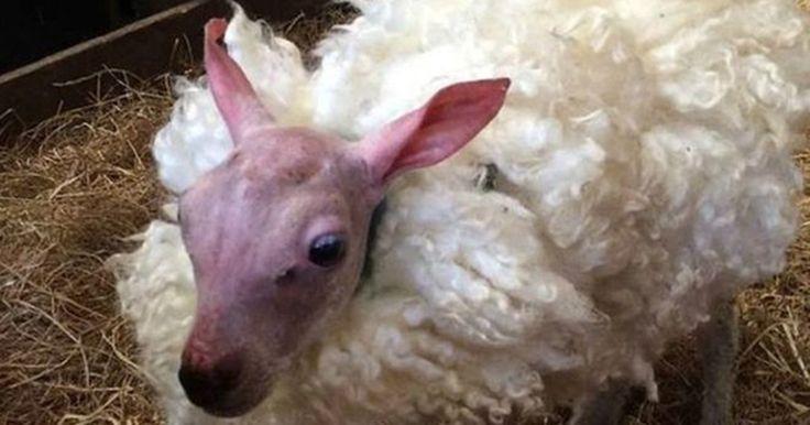 Rejeitado pela mãe após nascer sem pelo, bebê ovelha ganha casaco de lã para se proteger do frio