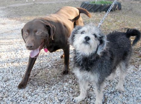 Lab rescues his canine buddy from snare trap » DogHeirs | Where Dogs Are Family « Keywords: dog rescue, Labrador Retreiver