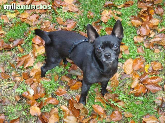 MIL ANUNCIOS.COM - Chiguagua. Compra-venta de perros chiguagua. Regalo de cachorros..