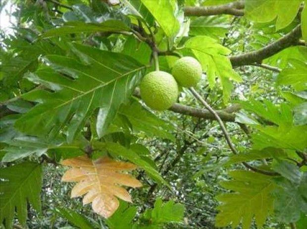 Ekmekağacı- Breadfruit  Büyük bir ağacı olan meyve dut ağacı familyasındandır. Filipinler ve Asya'nın güney doğusu anavatanıdır. Muz gibi olgunlaşınca yenebilen meyve, olgunlaşmamış ise pişirilip tüketilebilir. Olgun meyvesi yumuşak ve tatlıdır, olgunlaşmamış meyve ise sert ve nişastalıdır. İsmini de barındırdığı nişastadan alır. Pişirildiğinde taze pişmiş ekmek tadındadır.