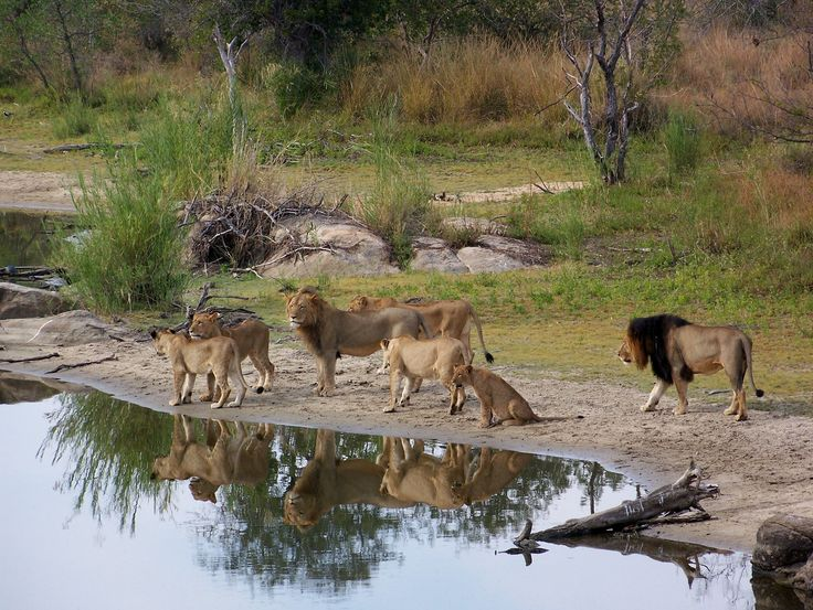 Lions at water hole