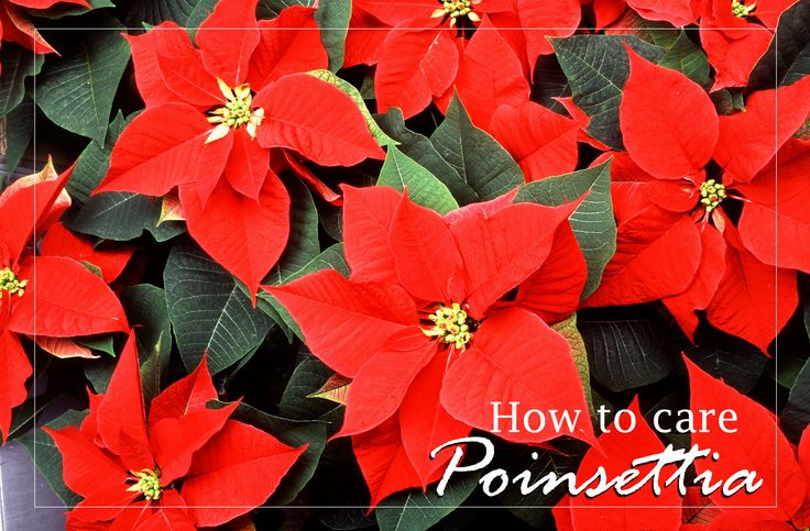 How to care Poinsettia Poinsettia Facts:  The poinsettia (Euphorbia pulcherrima) is commercially important plant specie The poinsettia is native to Mexico. There are over 100 cultivated varieties of poinsettia see more..naturebring.com