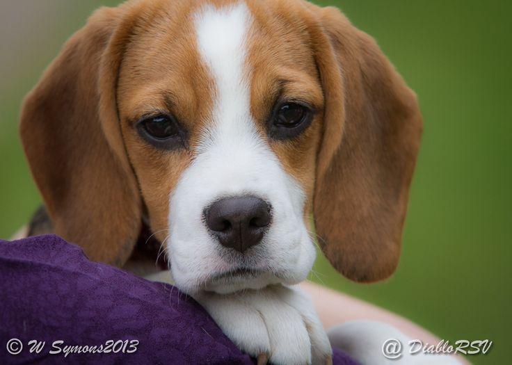 Beautiful beagle eyes