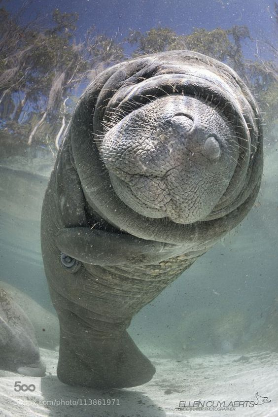 How can you not love this little guy! | Manatee in Florida  Order an oil painting of your pet now at www.petsinportrait.com