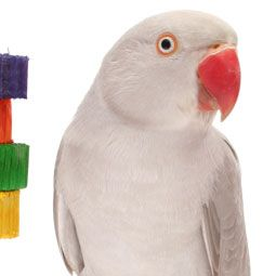 The Indian ring-necked parakeet might be considered an aviary-only bird, but they make a great pet bird, too!