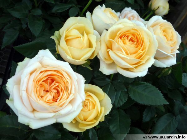Un mini-rosier, le Bel Ami