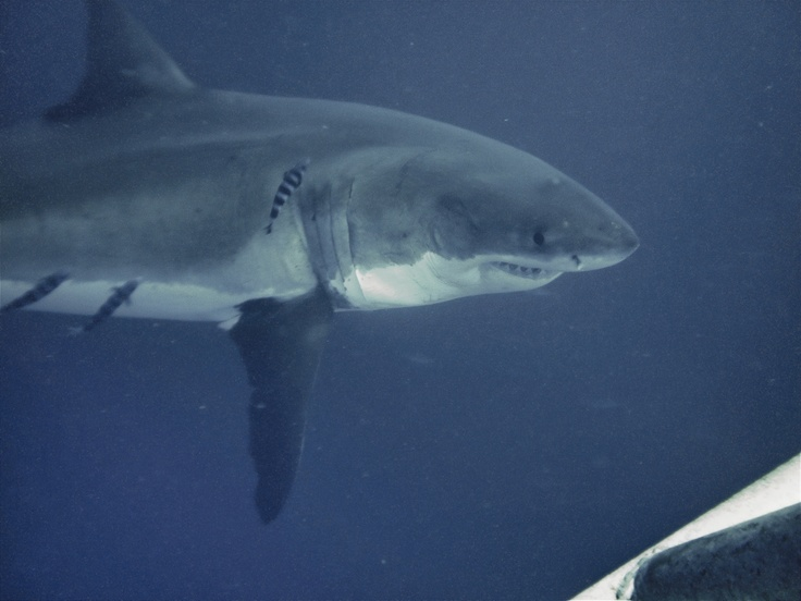 Explore The Beauty Of Caribbean: 17 Best Images About *Sharks* On Pinterest