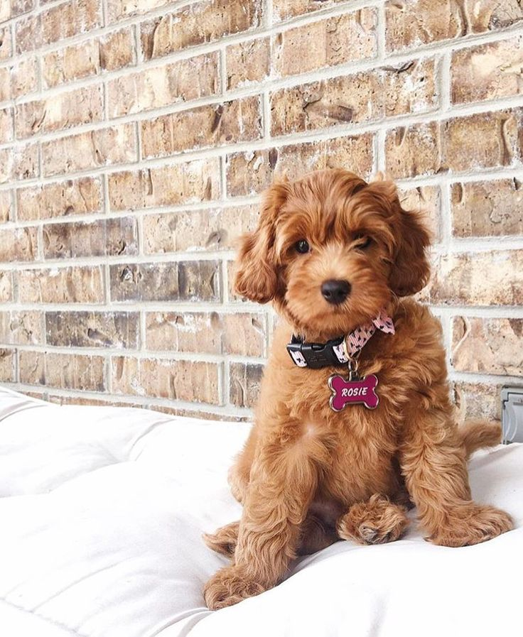 7,904 Likes, 186 Comments Goldendoodles Of Instagram