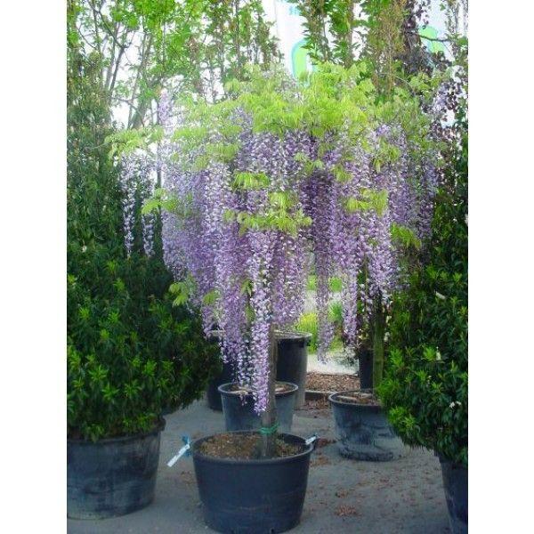 Blauwe regen als boom (Wisteria sinensis 'Prolific') | Directplant