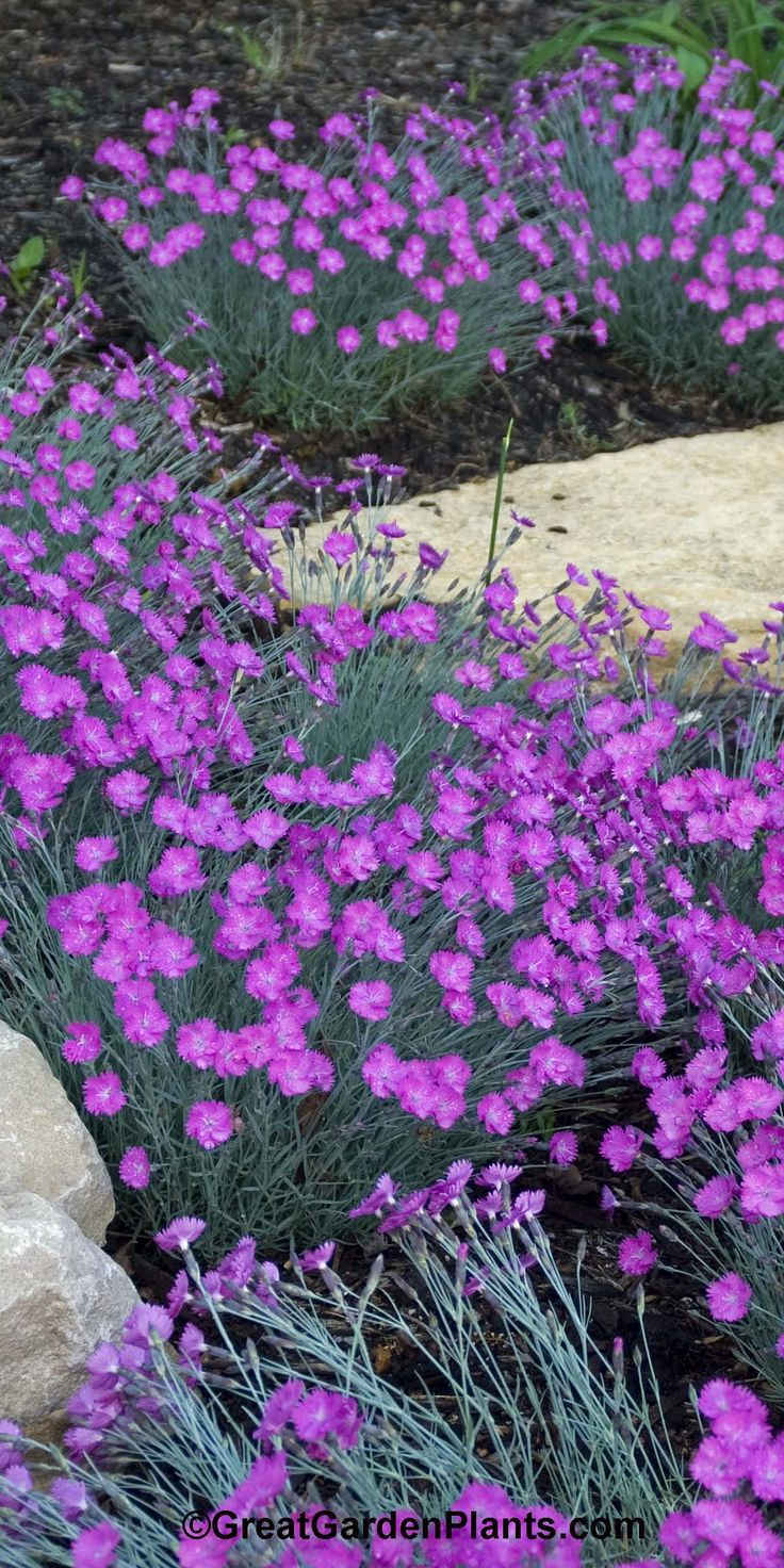 86 best dianthus images on pinterest carnation bouquet for Best low growing groundcover for full sun