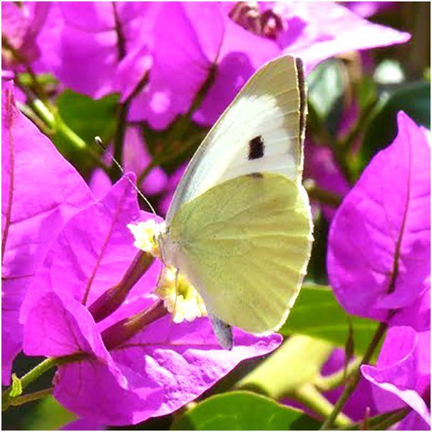 Vooral in juli en augustus zijn er vlinders in overvloed te zien in de vlindervallei op Rhodos