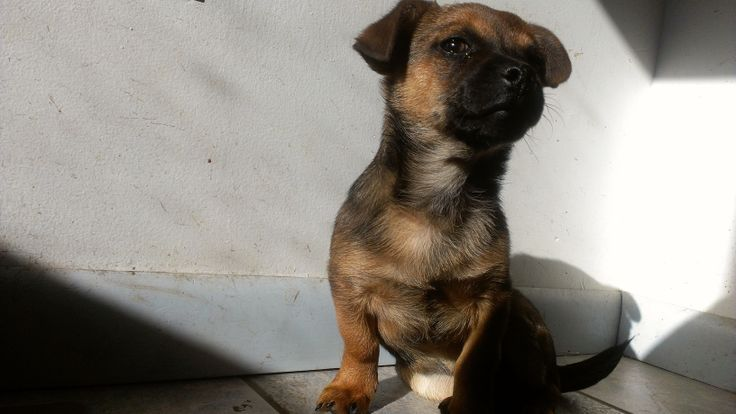 chihuahua-wiener dog mix | Dogs | Pinterest