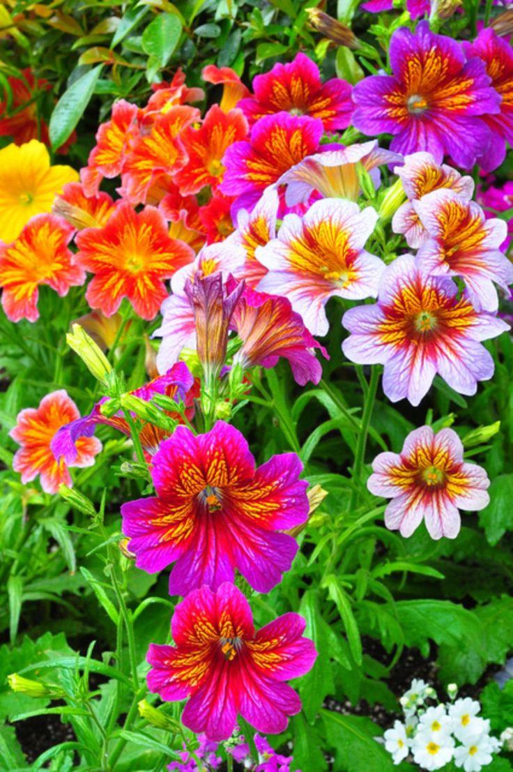 nice 30 Pretty Amazing Night Sky Petunia Flower for Your Garden https://wartaku.net/2017/06/23/30-pretty-amazing-night-sky-petunia-flower-garden/