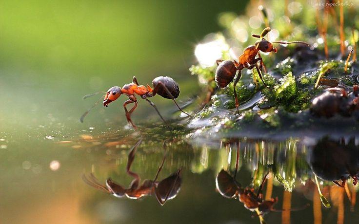 Mrówki, Woda, Makro