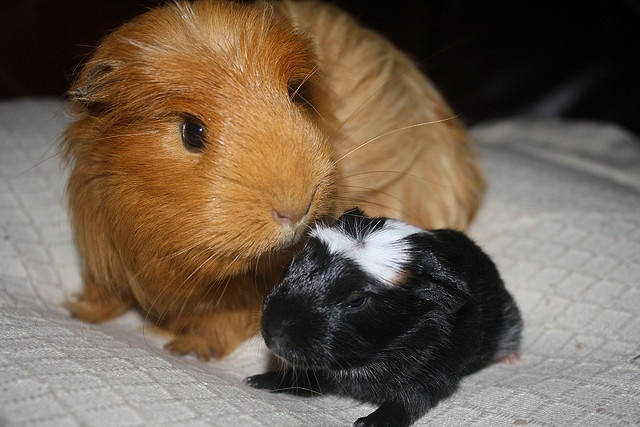 Grumpy and her baby boy guinea pig - a day old :)