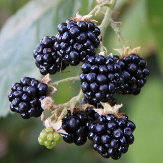 BROMBÆR - FRODIG BUSK MED RIV I - Blackberry