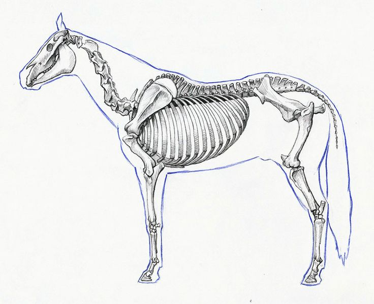 Horse Anatomy By Herman Dittrich Hind Legs: Perissodactyla Images On