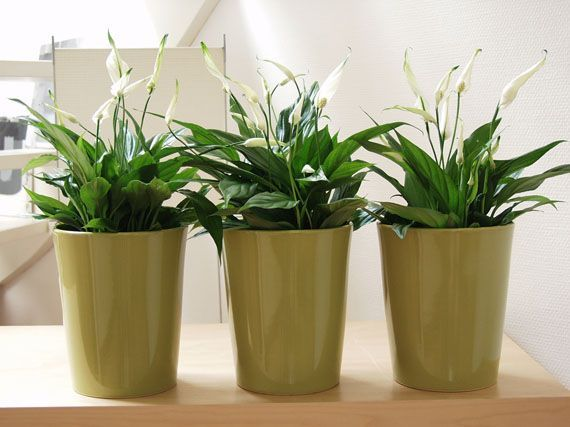 17 best ideas about plantas de interior resistentes on - Plantas de interior resistentes ...