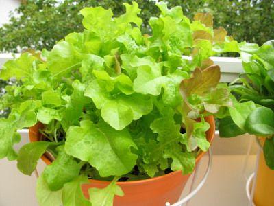 Warzywa na balkonie - sałata w doniczce wiszącej