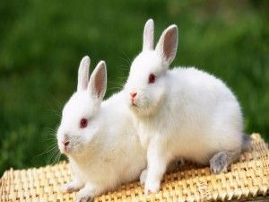 Dos lindos conejitos blancos