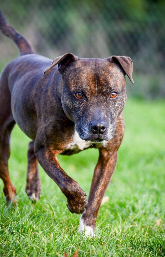 Staffordshire Bull Terriers Cake Dogs And Puppies Staffordshire Bull Terriers In 2020 Dogs And Puppies Staffordshire Bull Terrier Puppies Bull Terrier Funny