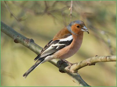 Identifying New Zealand Birds. Male Chaffinch.
