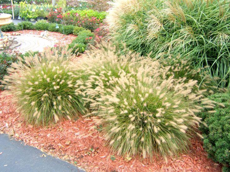Holen Sie Es Wachsen Ziergras Verleiht Schonheit Mit Minimalem Aufwand Bossier Press Ziergras Gartengestaltung Ideen Gras