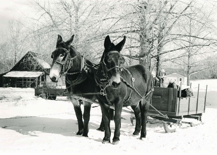 Mules in the Snow, Maine:  Horse-Cart