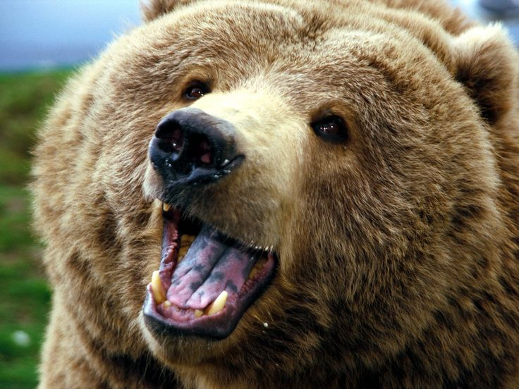 Grizzly bear; I like him, he seems like he's smiling. Grizzly bears are awesomely powerful, intelligent creatures. I'm into it!